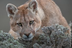 Wild Pumas of Patagonia Ingo Arndt, Germany © National Geographic